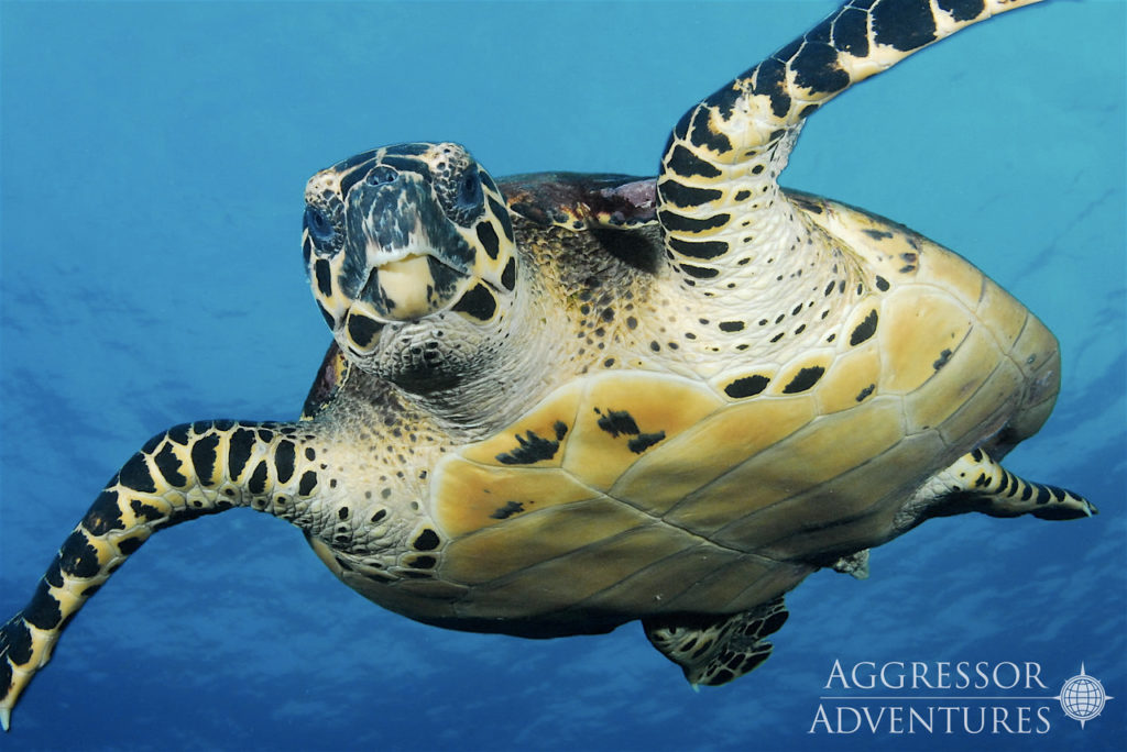 Sea turtle in the Cocos Islands