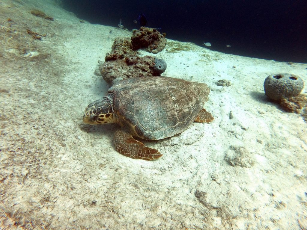 Sea turtle in the Bahamas
