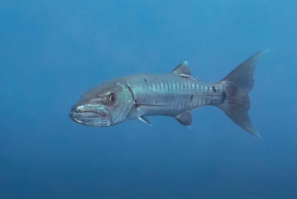 Barracuda in St. Kitts
