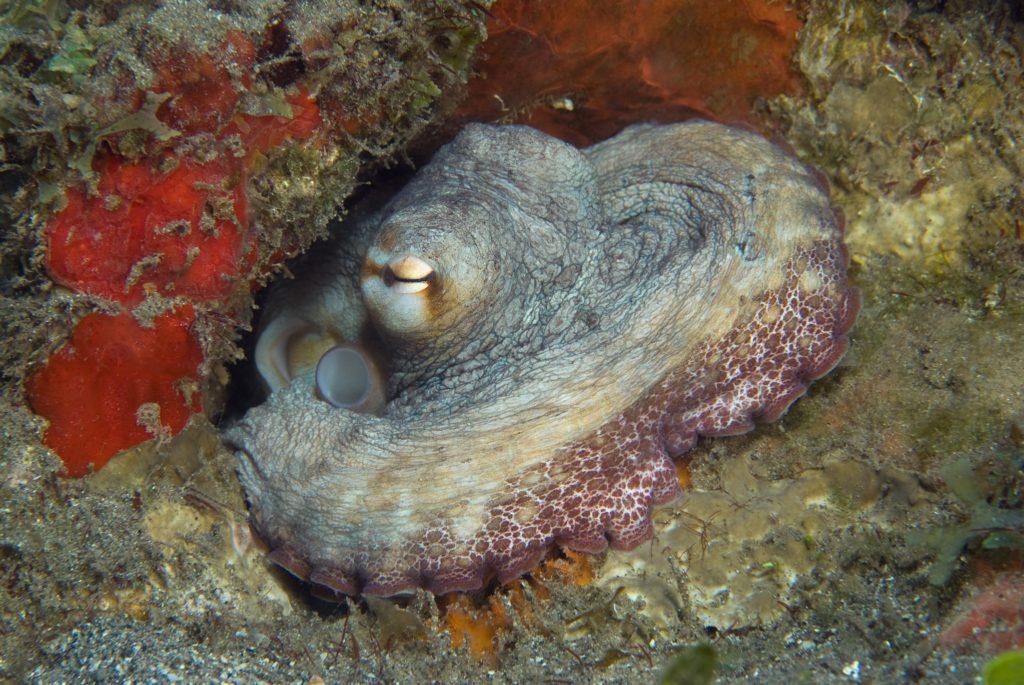 Octopus in St. Kitts
