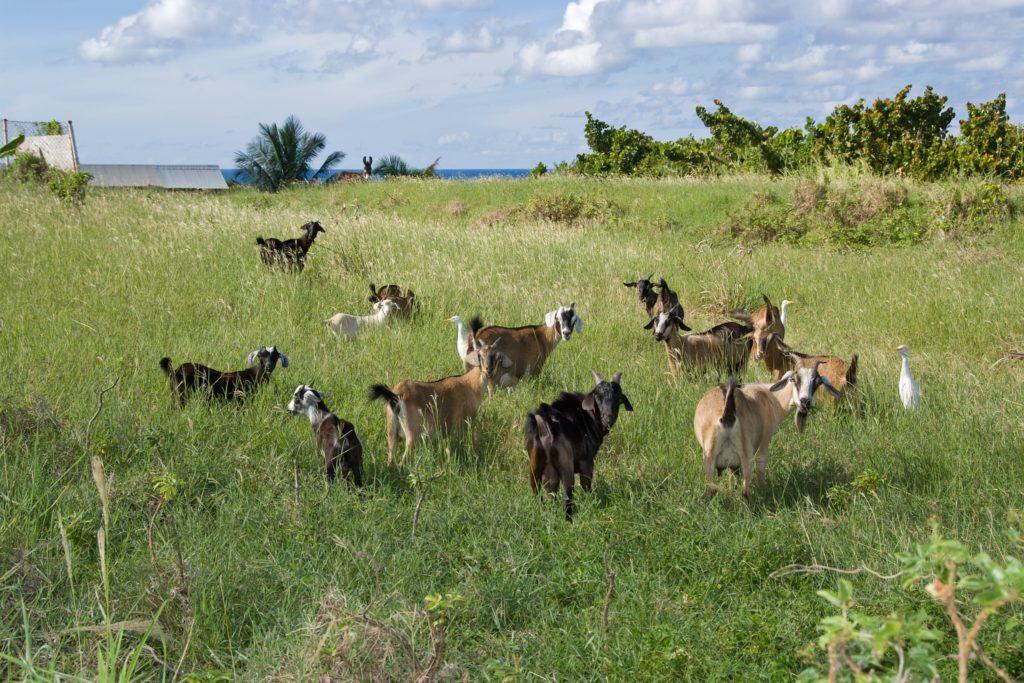 St. Kitts goats