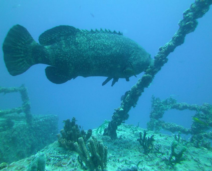 Large fish above wreck in Key Largo