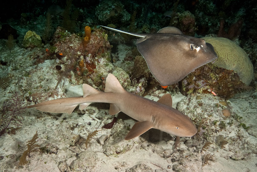 A nurse shark and stingray swim along the bottom of the ocean. Both are brown and swimming over a light brown sandy bottom with a few pieces of coral behind them.
