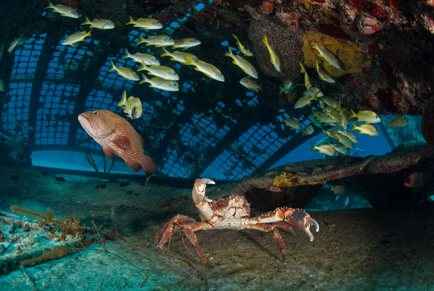 Inside a wreck, a red crap raises a claw as a diver flashes their camera. A large fish and a school of a different kind can be seen around the crab.