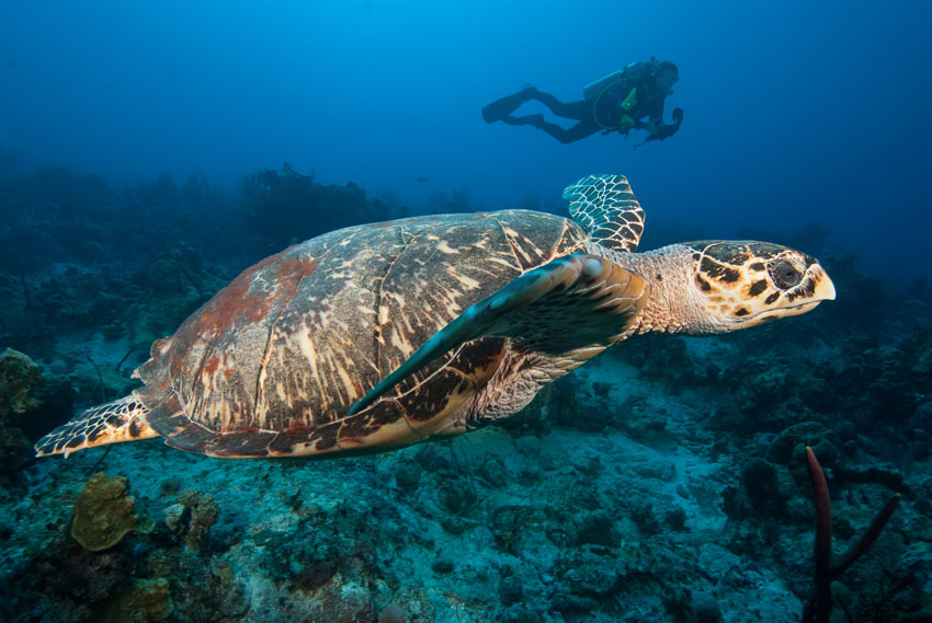 A large sea turtle is swimming through the open water. In the background another diver is swimming alongside it.