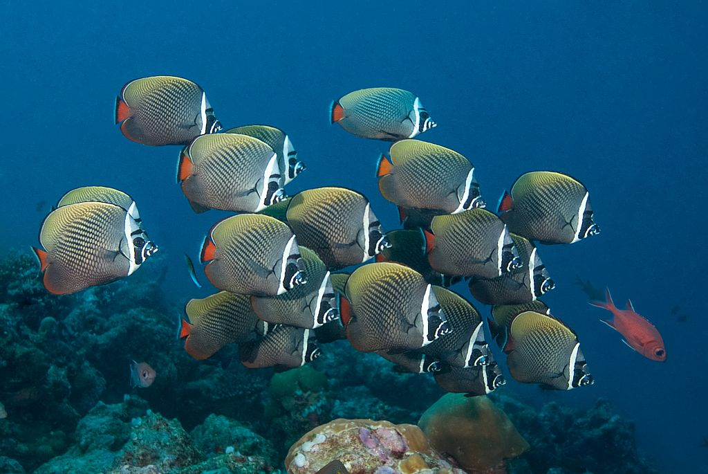 A school of fish swim in front of the lens. They have a base color of black with yellow dots all over their bodies, a white stripe running vertically down behind their heads, and a red tail.