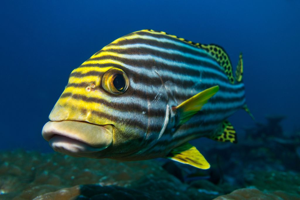 A large fish is swimming close to the photographer. He is mostly yellow with blue stripes.