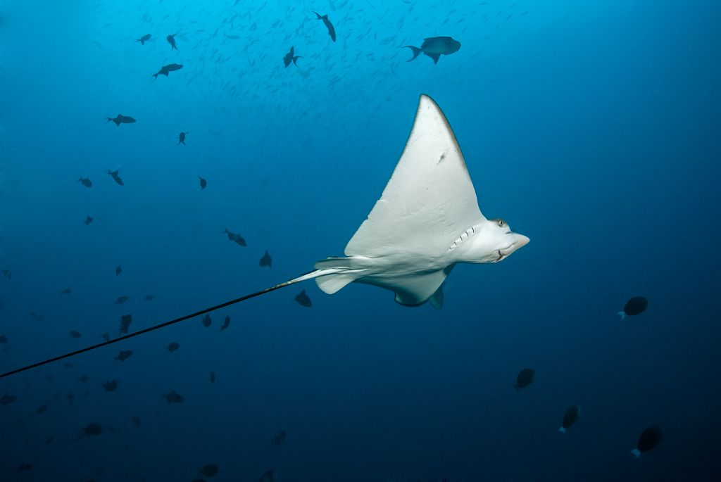 A large white stingray swims overhead. It's wings are pointed and his mouth and nose can be seen from underneath.