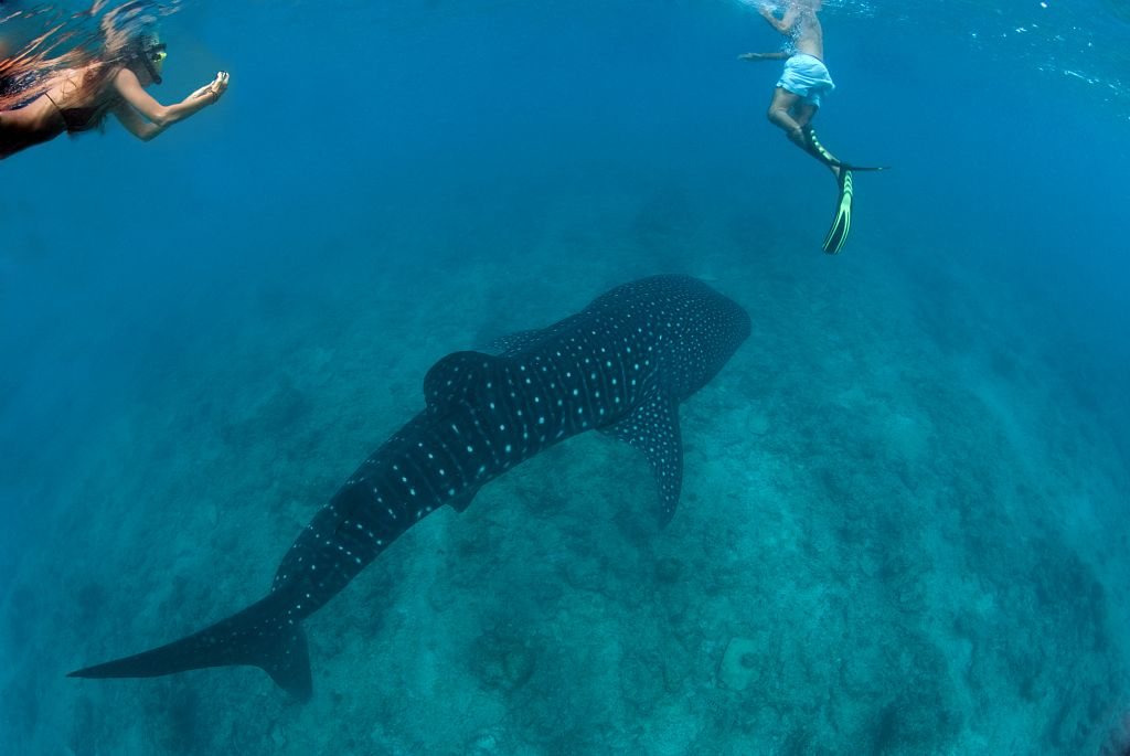 Two snorkelers float in the water and watch as a whale shark floats underneath them.