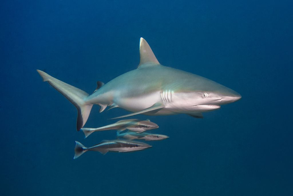 A white tip shark is swimming above several fish in the Maldives.
